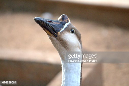 Close-Up Of African Goose