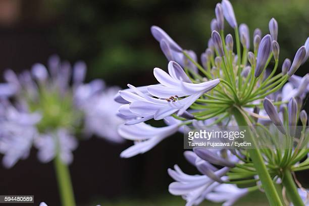 Close-Up Of Agapanthus Blooming In Park