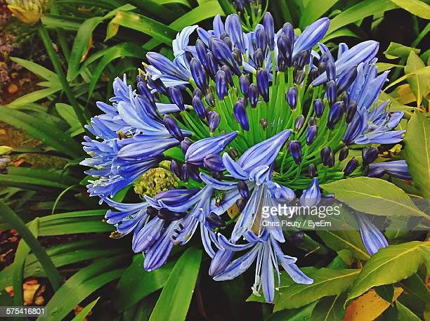 Close-Up Of Agapanthus Blooming On Field