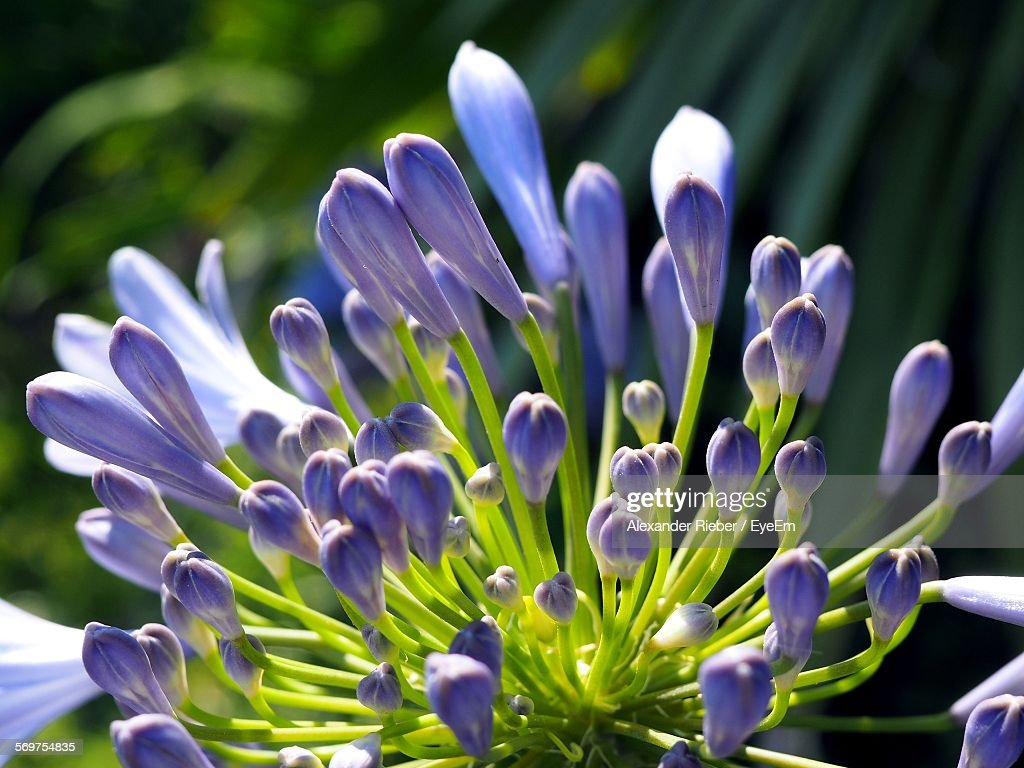 Close-Up Of Agapanthus Buds Outdoors
