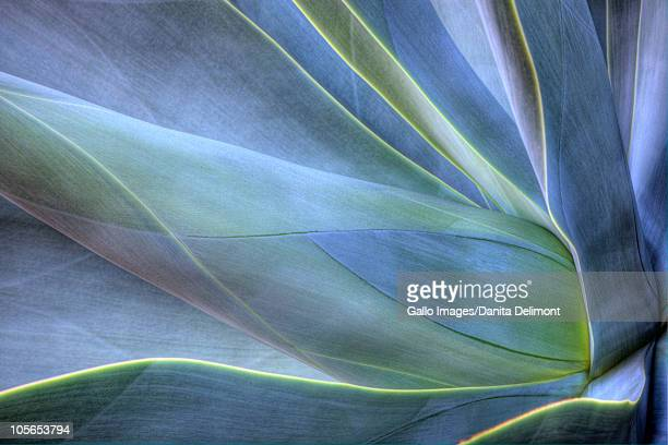 Close-up of Agave, Maui, Hawaii, USA