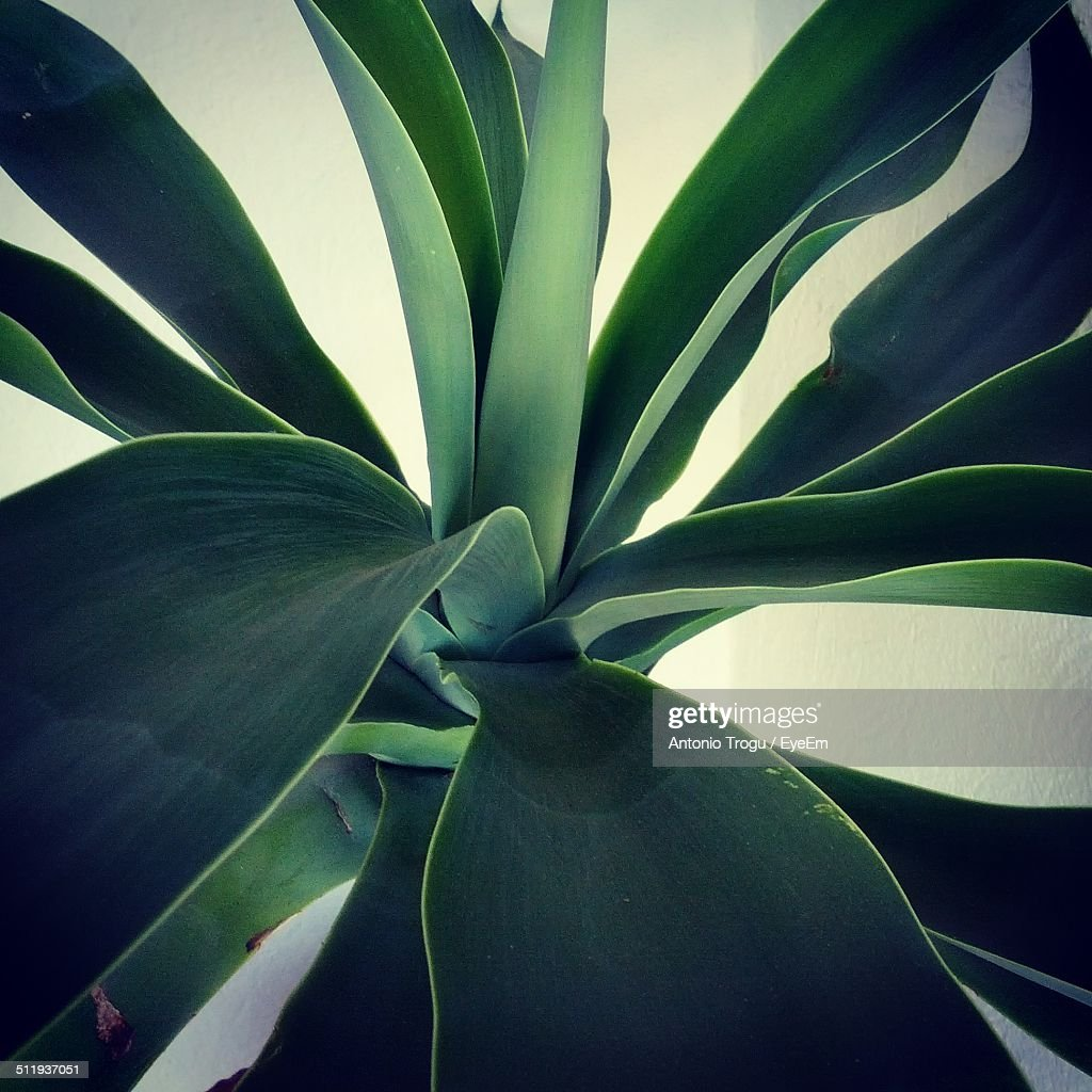 Close-up of agave plant : Stock Photo