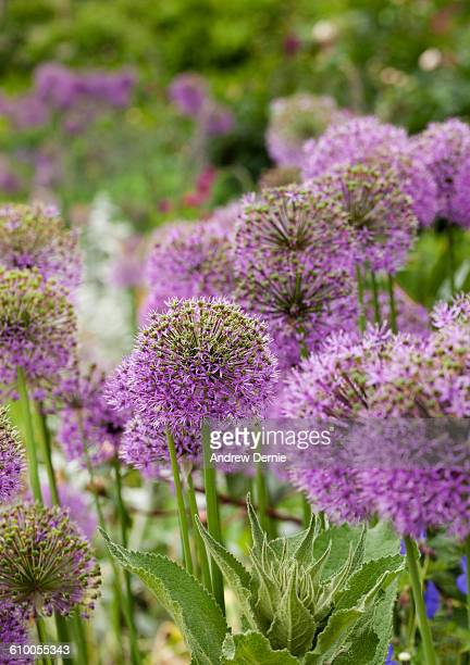 Close-Up of Allium Flowers Blooming in the Garden