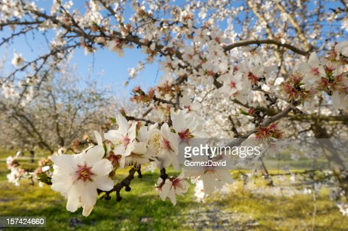 Close-up of Almond Tree Blossoms