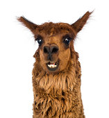 Close-up of Alpaca smiling against white background