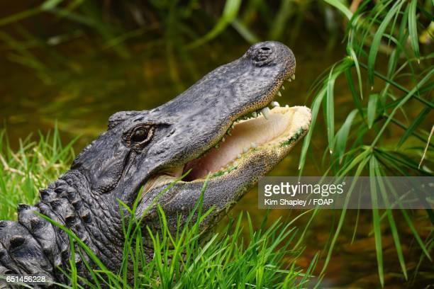 Close-up of American alligator