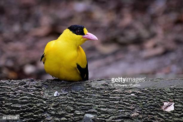 Close-Up Of American Goldfinch Perching On Branch