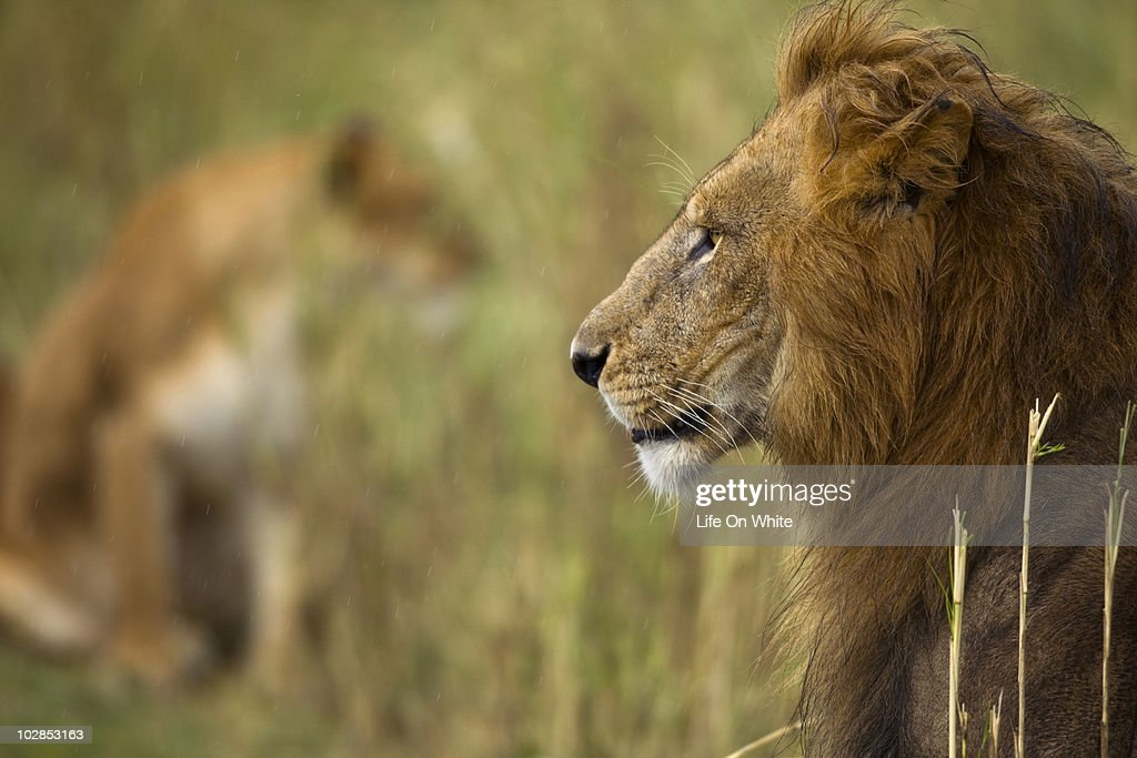 close-up of an adult lion : Stock Photo