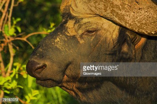 Close-up of an African Buffalo (Syncerus caffer) in a forest, Motswari Game Reserve, South Africa : Foto de stock