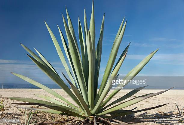Close-up of an agave plant in the desert