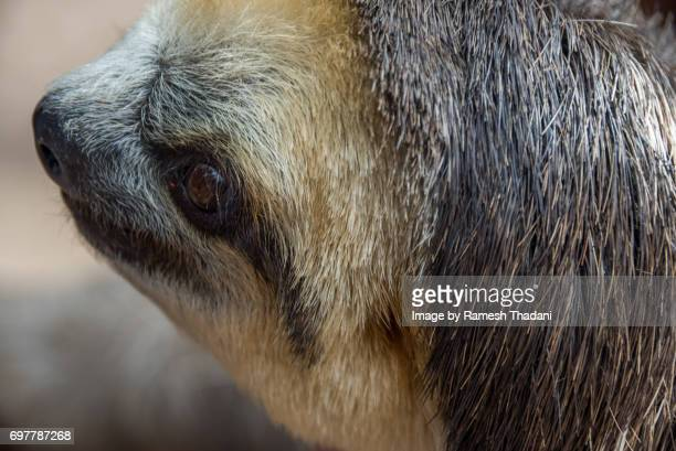 Close-up of an Amazon three-toed sloth