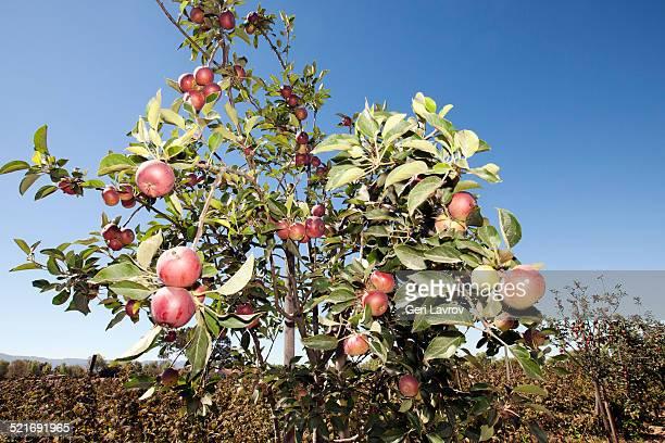 Closeup of an apple tree