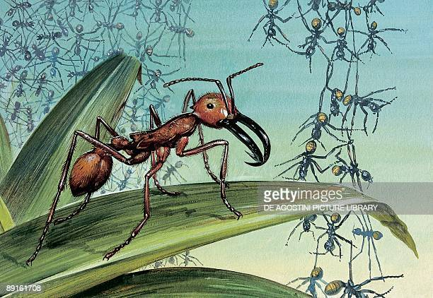 Closeup of an army ant on a leaf