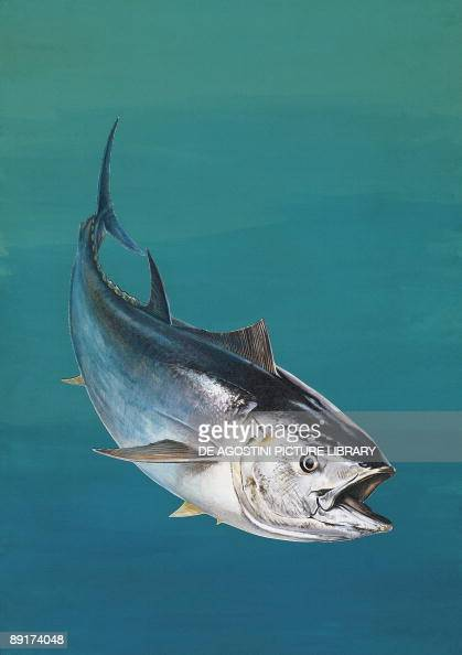 atlantic bluefin tuna Research atlantic bluefin tuna (thunnus thynnus) background atlantic bluefin tuna are found throughout the north atlantic ocean in the western atlantic, they range from labrador to brazil in the eastern atlantic they range from the lofoten islands off norway to the northwest african coast.