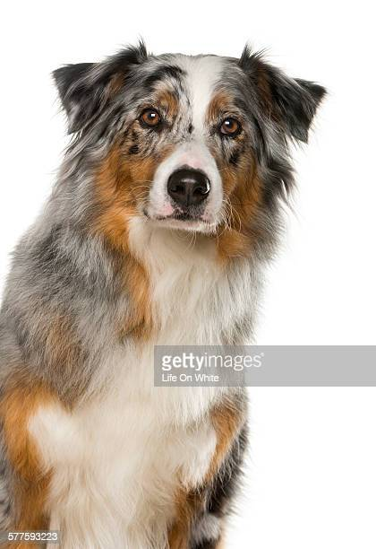 Close-up of an Australian Shepherd