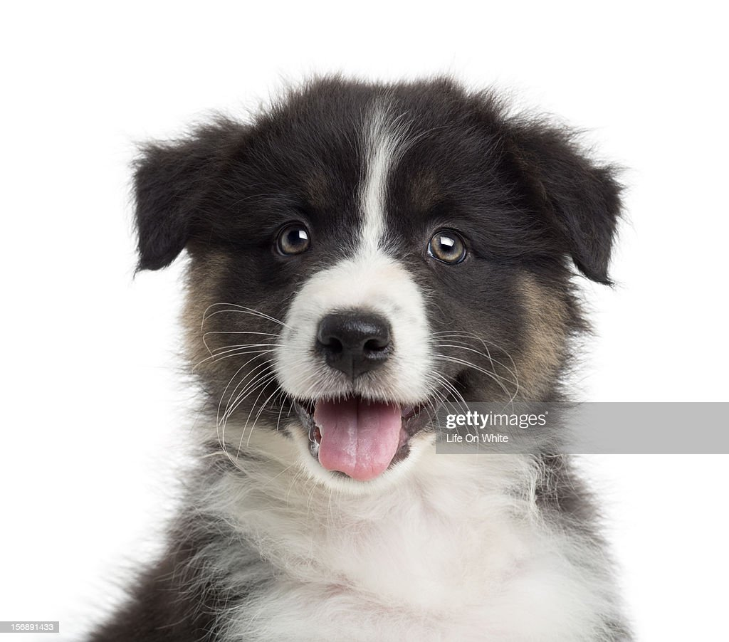 Close-up of an Australian Shepherd puppy : Stock Photo