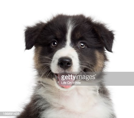 Close-up of an Australian Shepherd puppy : Stock Photo