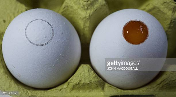 Closeup of an egg after an incision by laser and an after part of the shell was removed to allow analysis by spectrometer at a lab at the Carl Gustav...