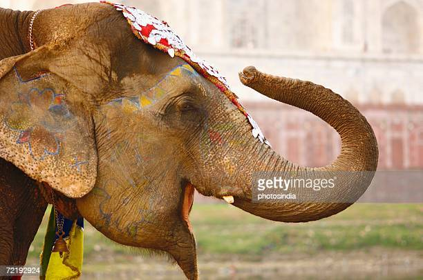 Close-up of an elephant, Taj Mahal, Agra, Uttar Pradesh, India