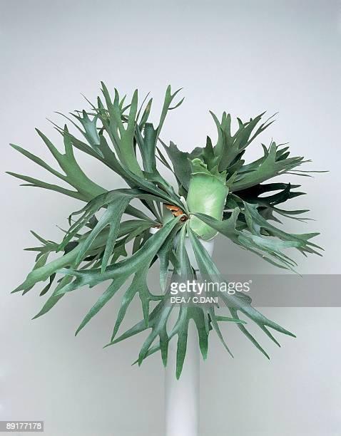 Closeup of an Elkhorn fern plant