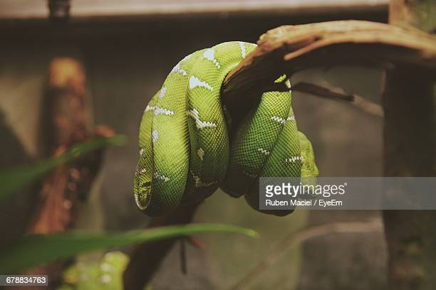 Close-Up Of An Emerald Tree Boa Hanging On A Branch