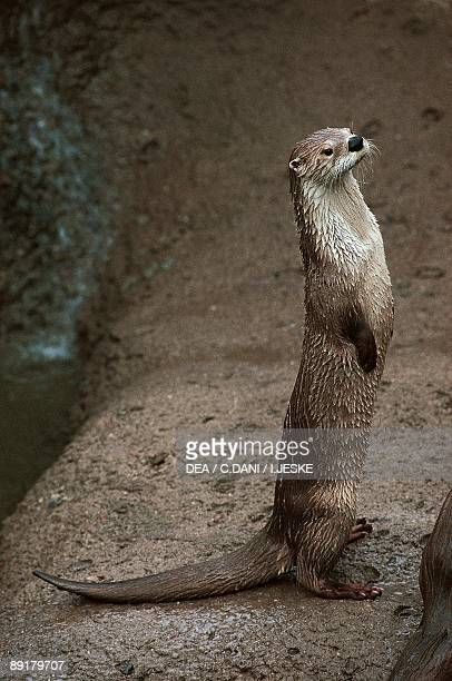 Closeup of an Neotropical otter