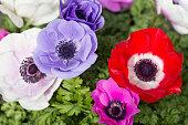 Close-up of anemones