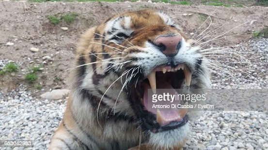 Close-Up Of Angry Tiger