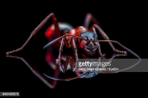 the background information on ants Red imported fire ant, solenopsis invicta history: the red imported fire ant please contact your local county extension office for current information.