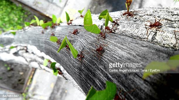 Close-Up Of Ants Carrying Leaves