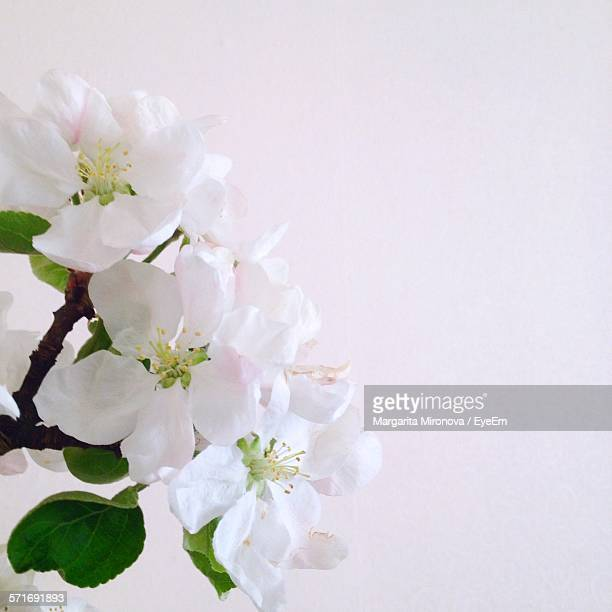 Close-Up Of Apple Blossom Against White Background