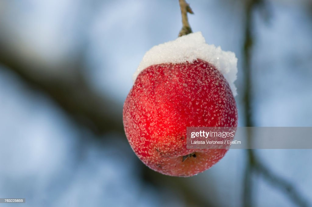 Close-Up Of Apple Hanging From Branch During Winter : Stock-Foto