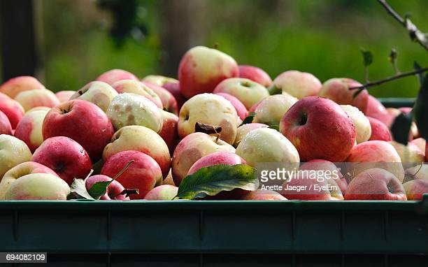 Close-Up Of Apples At An Orchard