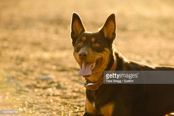 Close-Up Of Australian Kelpie Sticking Out Tongue In Sunny Day On Field
