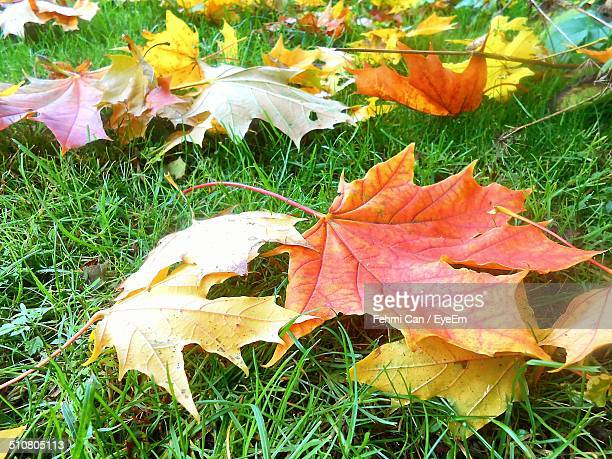 Close-up of autumn leaves on grass