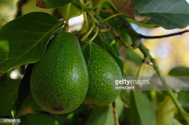 Close-up of Avacado Rippening on Tree