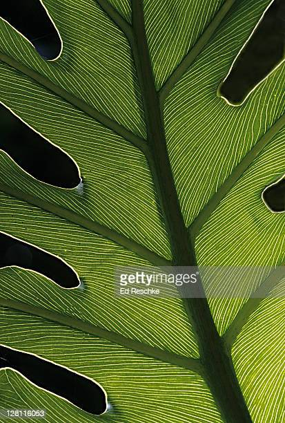 Closeup of backlit Philodendron Leaf, Philodendron spp. Native to tropical America and the West Indes. Lush foliage, all parts of the plant are poisonous. Fairchild Tropical Garden, Miami, Florida. USA