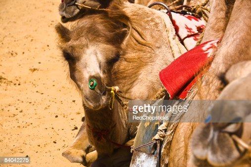 Close-up of Bactrian camels (Camelus bactrianus), Kubuqi Desert, Inner Mongolia, China