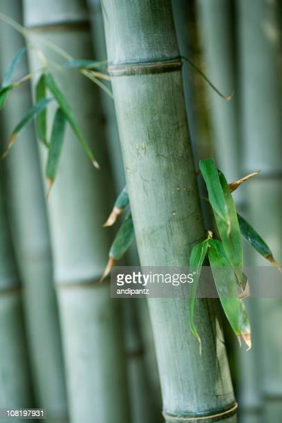 Close-up of Bamboo Stalks with Leaves