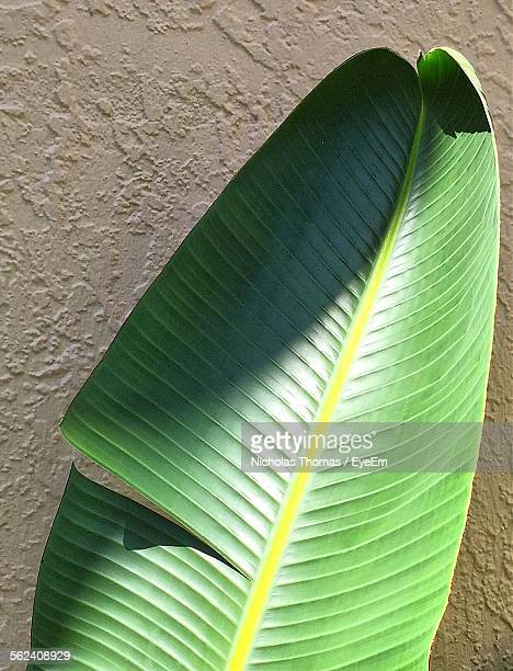 Close-Up Of Banana Leaf