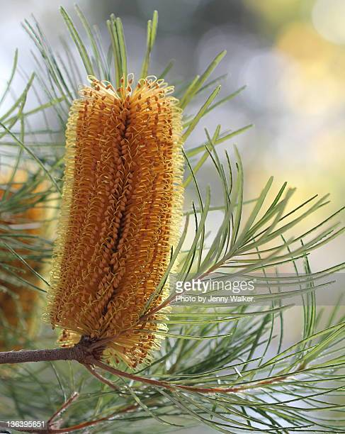 Close-up of Banksia flower blooming