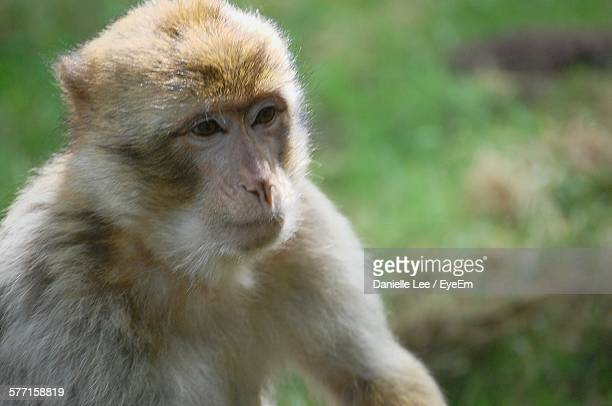 Close-Up Of Barbary Macaque Outdoors