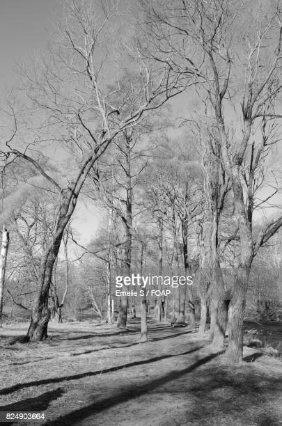 Close-up of bare trees in forest