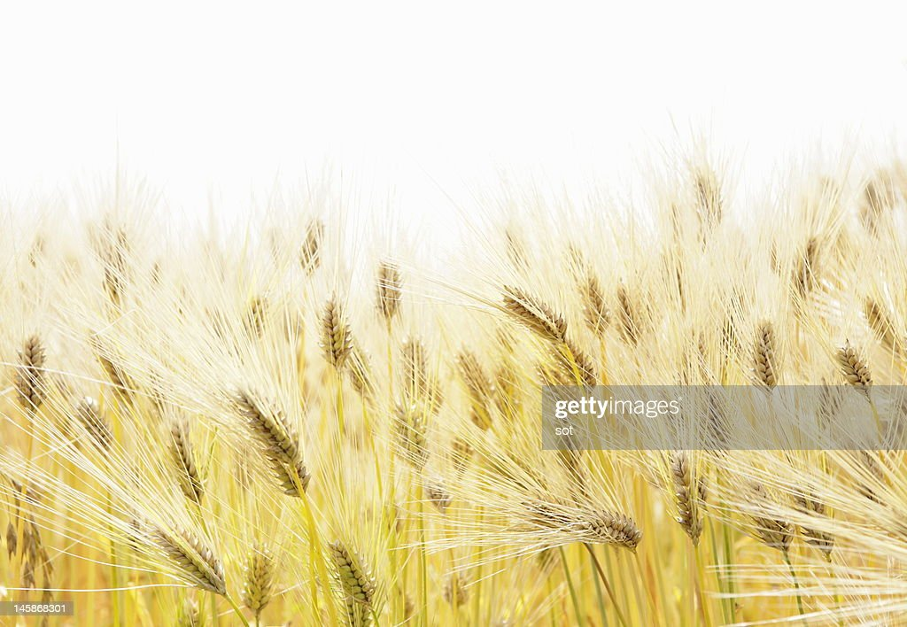 Close-up of barley in field