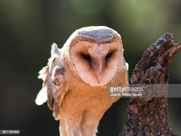 Close-Up Of Barn Owl perched on an old trunk of tree hunting. Spain