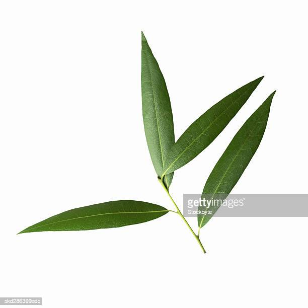 Close-up of bay leaves
