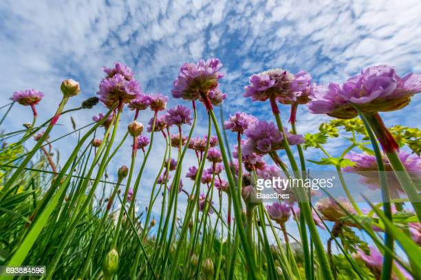Close-up of beach flowers - Armeria Maritima / Sea thrift
