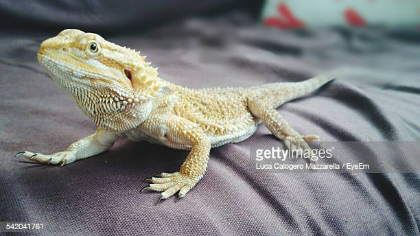 Close-Up Of Bearded Dragon Lizard On Bed
