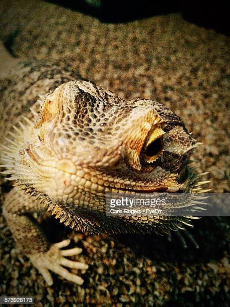 Close-Up Of Bearded Dragon On Floor