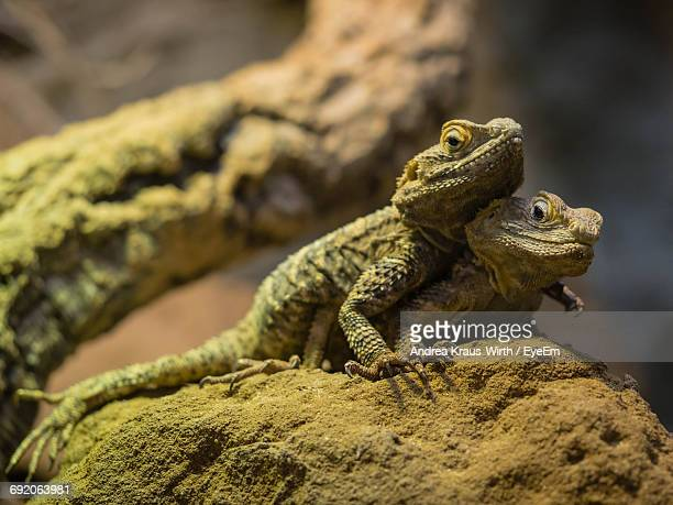 Close-Up Of Bearded Dragons Mating On Rock